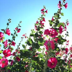 Hollyhocks in our community garden looking extra gorgeous today. Well…